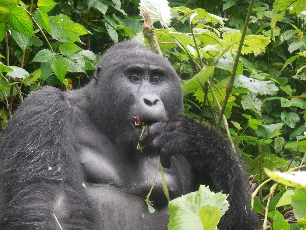 Mountain Gorilla Kanyoni Gorilla Conservation Coffee