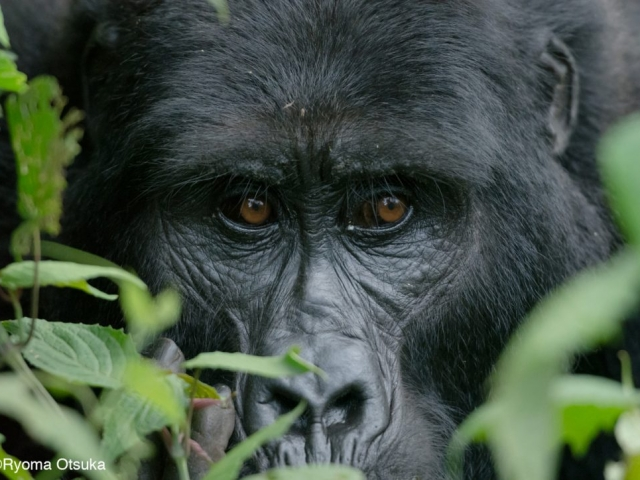 Adult female gorilla, Mitunu from the Mubare family, Bwindi, Uganda. Photo Ryoma Otsuka