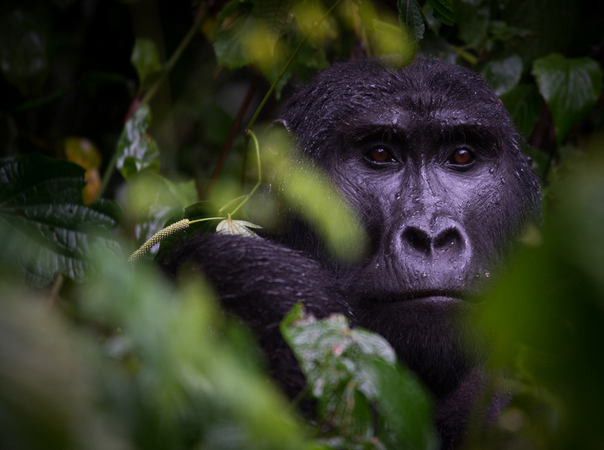 Adult male blackback gorilla. H group, Bwindi. Photo Jo-Anne MacArthur, Unbound Project