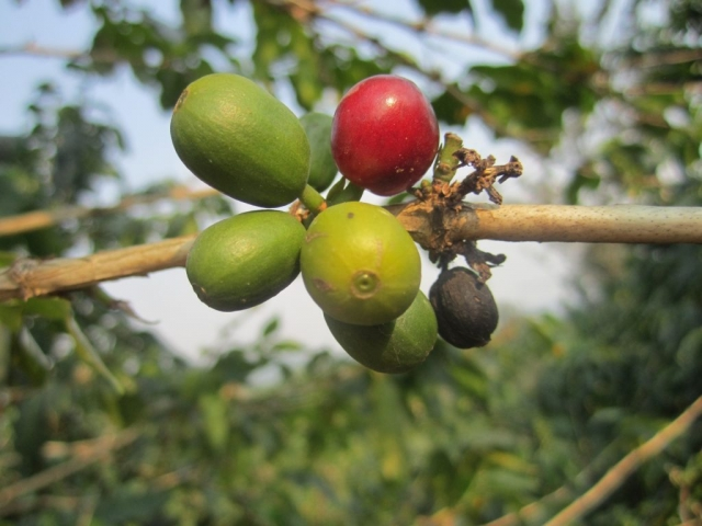 Coffee cherries ripening in the sun, adjacent to Bwindi Impenetrable Forest, Uganda