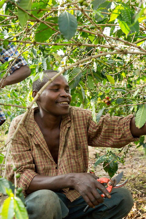 A coffee farmer prunes his coffee trees - Photo by Stephen Cummiskey