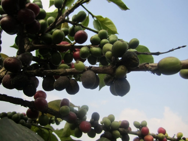 Gorilla Conservation Coffee - cherries ripening on the tree