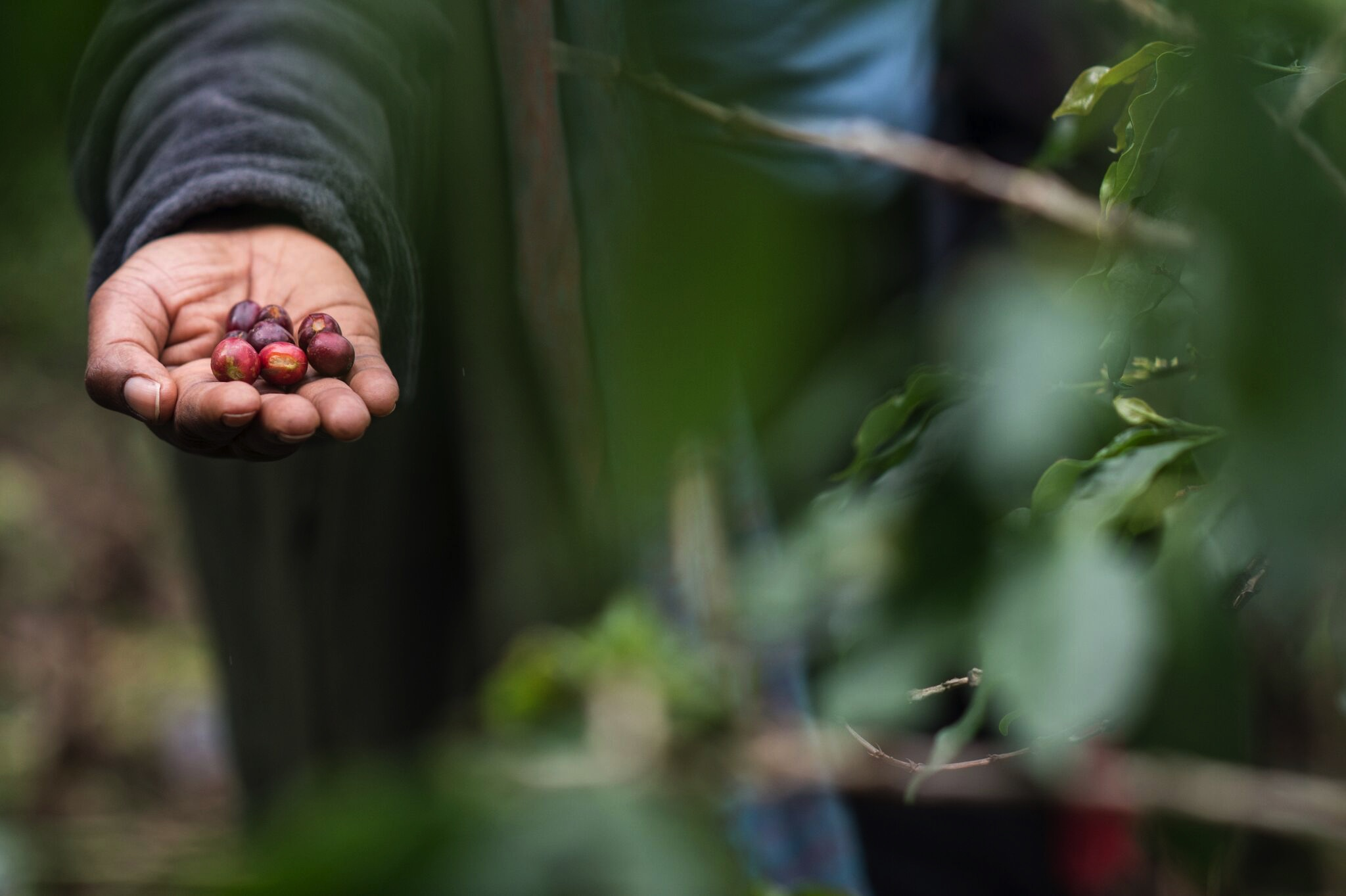 Freshly picked coffee cherries. Photo Jo-Anne MacArthur, Unbound Project