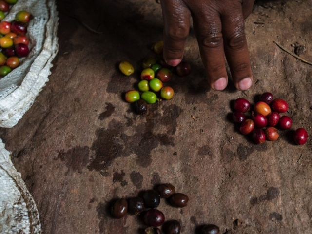 Sorting good and bad coffee. Photo Jo-Anne MacArthur, Unbound Project